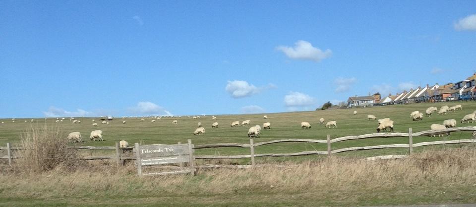 tye-sheep1